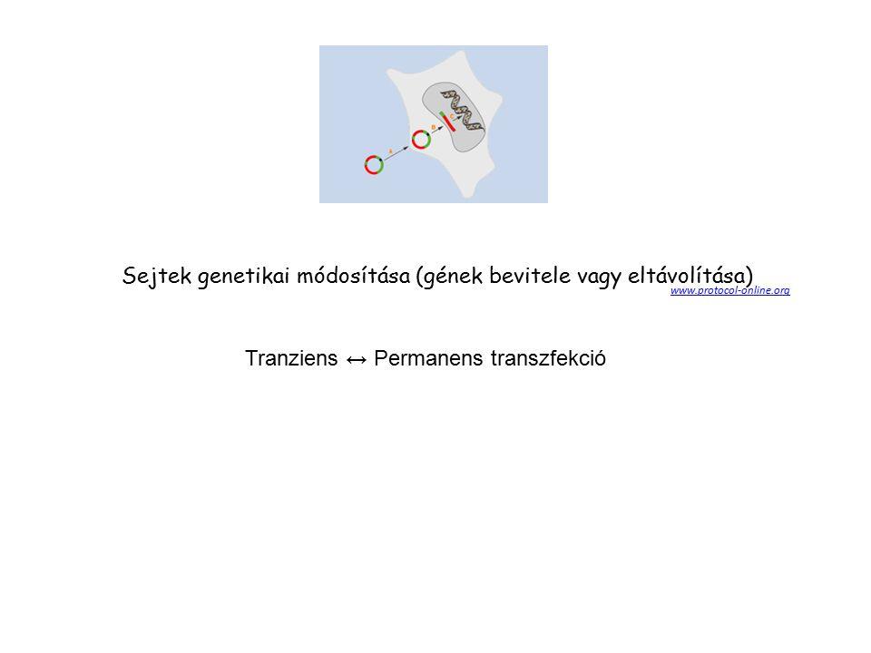 http://www.dls.ym.edu.tw/imm/Applications%20of%20Ab%20Molecules-041306.pdf HAT – medium Hypoxantin-aminopterin-timidin Fuzionált hybridoma sejtek válagatása