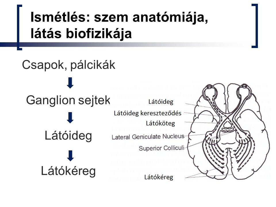Ismétlés: szem anatómiája, látás biofizikája Látóideg kereszteződés: retina mediális részéből származó rostok kereszteződnek, laterális részből eredők azonos oldali pályán maradnak látóköteg Látóköteg oldalsó térdestestbe (geniculatus magból) fut, amely az elsődleges látókéreg bemenete Magasabb rendű látókérgek (V2-V5) komplex hierarchikus rendszert alkotnak és még nem eléggé ismertek ahhoz, hogy a látás helyettesítésében használják