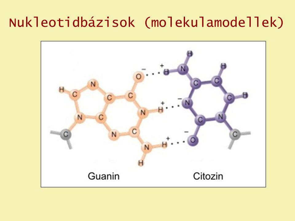 Nukleotidbázisok (molekulamodellek)