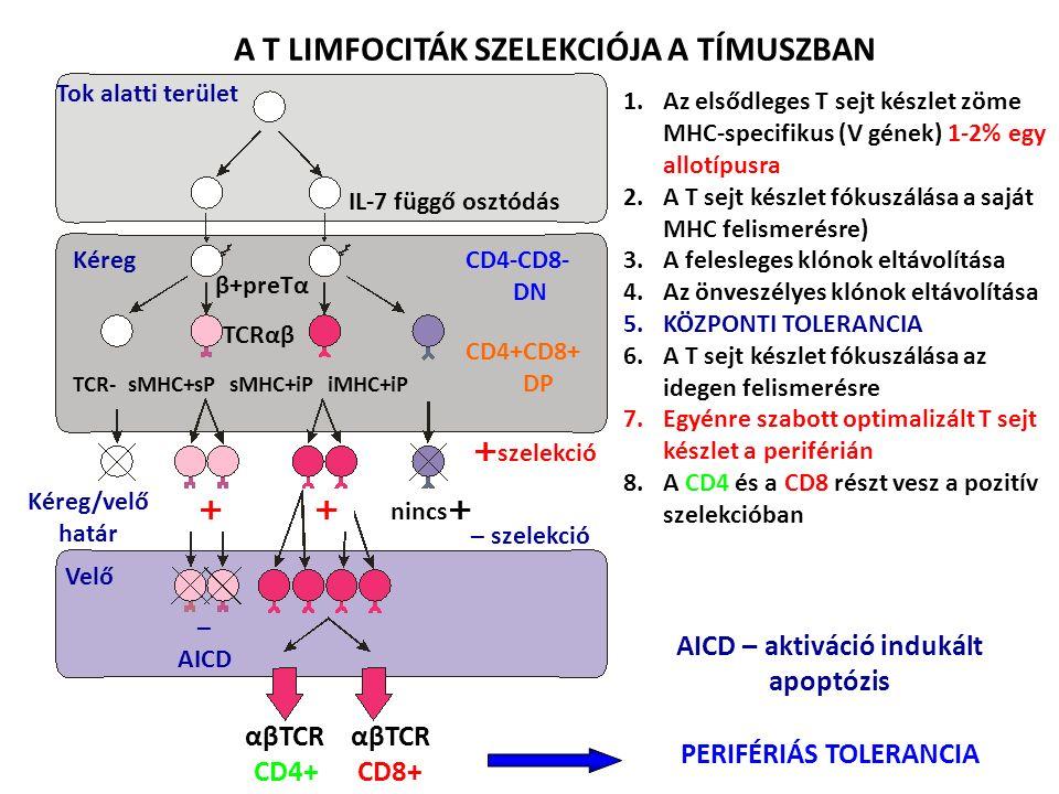 1.Az elsődleges T sejt készlet zöme MHC-specifikus (V gének) 1-2% egy allotípusra 2.A T sejt készlet fókuszálása a saját MHC felismerésre) 3.A felesleges klónok eltávolítása 4.Az önveszélyes klónok eltávolítása 5.KÖZPONTI TOLERANCIA 6.A T sejt készlet fókuszálása az idegen felismerésre 7.Egyénre szabott optimalizált T sejt készlet a periférián 8.A CD4 és a CD8 részt vesz a pozitív szelekcióban αβTCR CD4+ CD8+ A T LIMFOCITÁK SZELEKCIÓJA A TÍMUSZBAN Tok alatti terület Kéreg Kéreg/velő határ IL-7 függő osztódás β+preTα CD4-CD8- DN CD4+CD8+ DP Velő TCRαβ TCR- sMHC+sP sMHC+iP iMHC+iP  szelekció – szelekció  – AICD nincs  PERIFÉRIÁS TOLERANCIA AICD – aktiváció indukált apoptózis