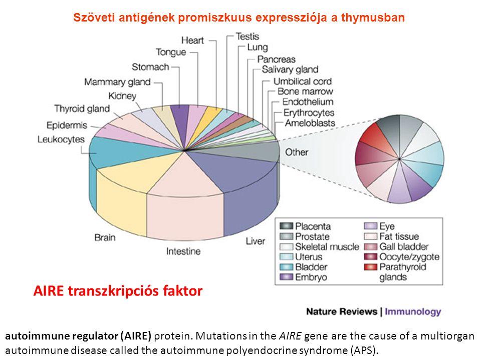 Szöveti antigének promiszkuus expressziója a thymusban AIRE transzkripciós faktor autoimmune regulator (AIRE) protein. Mutations in the AIRE gene are