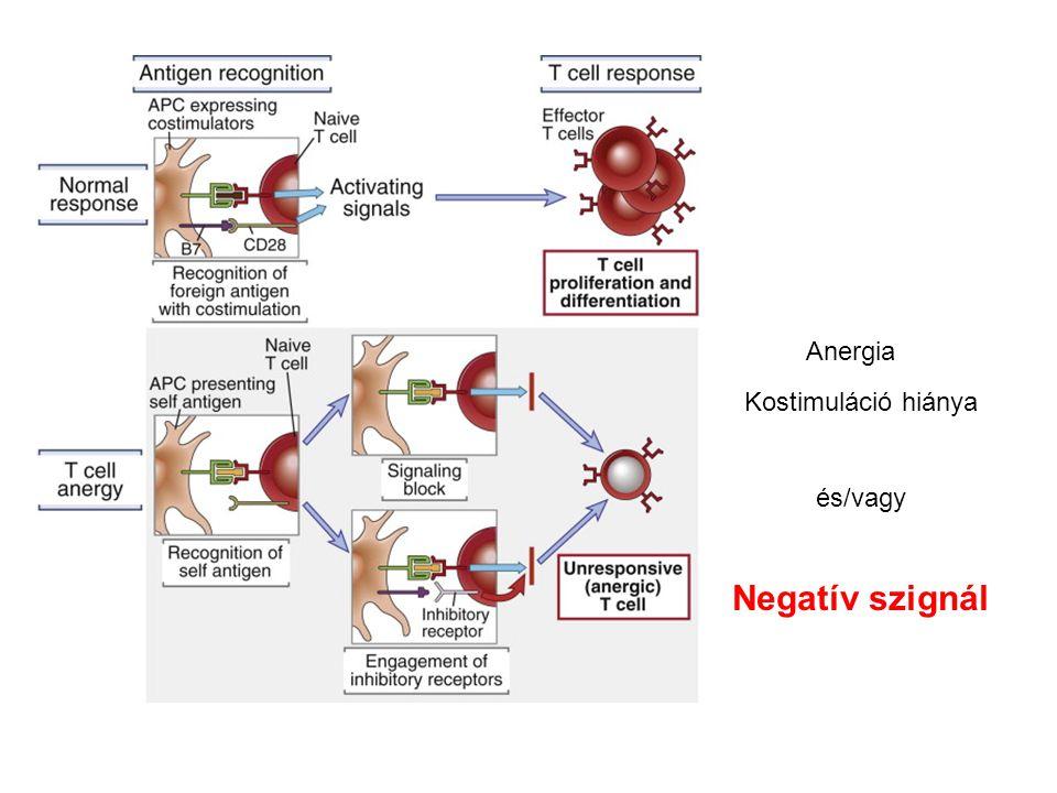Anergia Kostimuláció hiánya és/vagy Negatív szignál