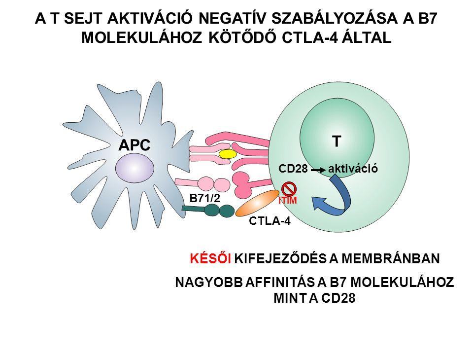 A T SEJT AKTIVÁCIÓ NEGATÍV SZABÁLYOZÁSA A B7 MOLEKULÁHOZ KÖTŐDŐ CTLA-4 ÁLTAL B71/2 KÉSŐI KIFEJEZŐDÉS A MEMBRÁNBAN NAGYOBB AFFINITÁS A B7 MOLEKULÁHOZ MINT A CD28 T APC CD28 aktiváció CTLA-4 ITIM