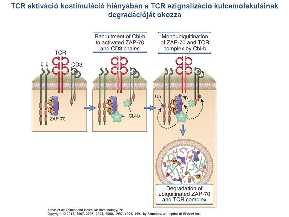 TCR aktiváció kostimuláció hiányában a TCR szignalizáció kulcsmolekuláinak degradációját okozza