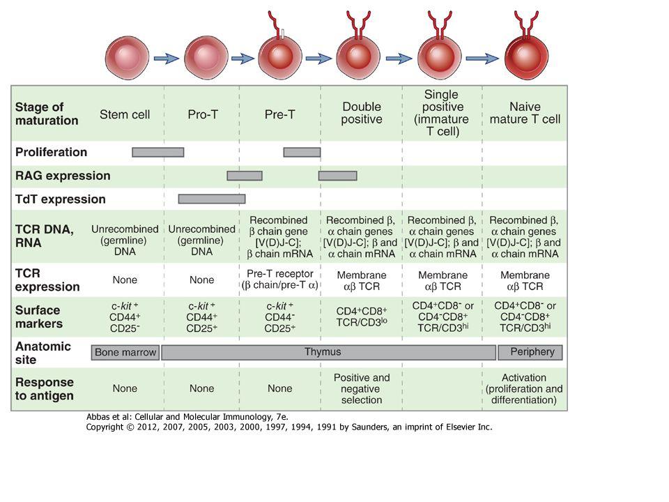 A naiv T-sejtek aktivációja második szignált –kostimulációt- igényel a TCR anitgén kapcsolaton kívül Az érett dendritikus sejtek a leghatékonyabb kostimulátorok.