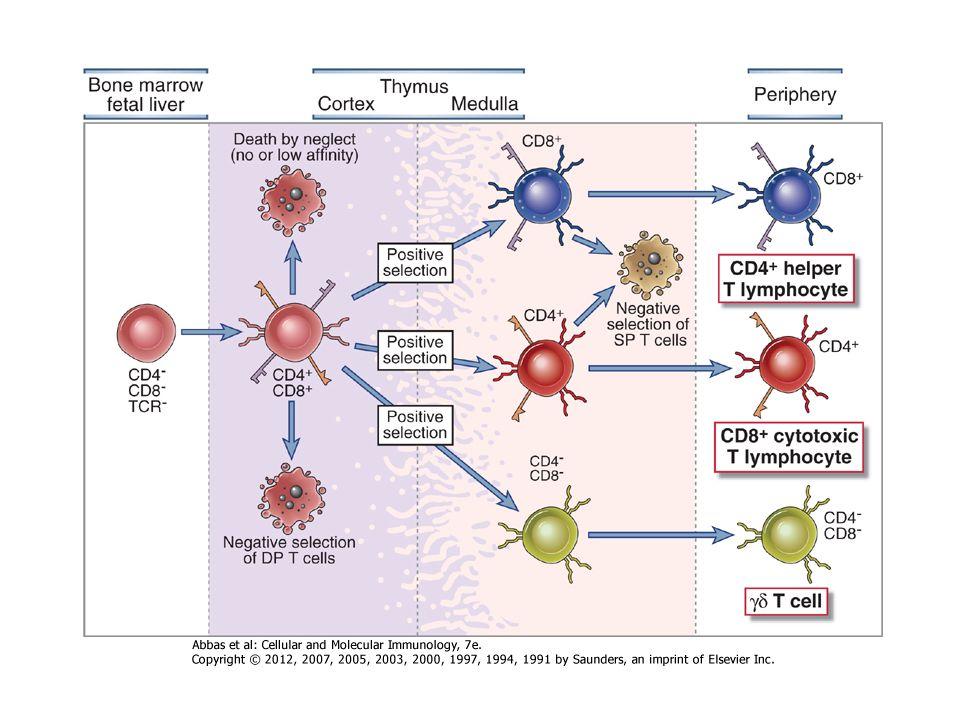 DC vándorlása DC-k Antigén felvétele DC-k Aktiválódása, érése Érett DC-k Antigén prezentációja, A naiv T-sejteknek A klasszikus T-sejt válasz az érett dendritikus sejtek antigén prezentációját igényli !