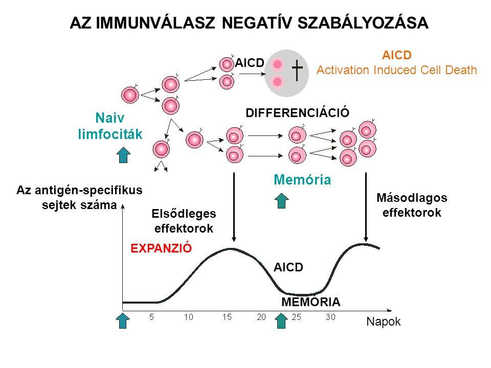 AZ IMMUNVÁLASZ NEGATÍV SZABÁLYOZÁSA Naiv limfociták Az antigén-specifikus sejtek száma Elsődleges effektorok Másodlagos effektorok Memória DIFFERENCIÁ