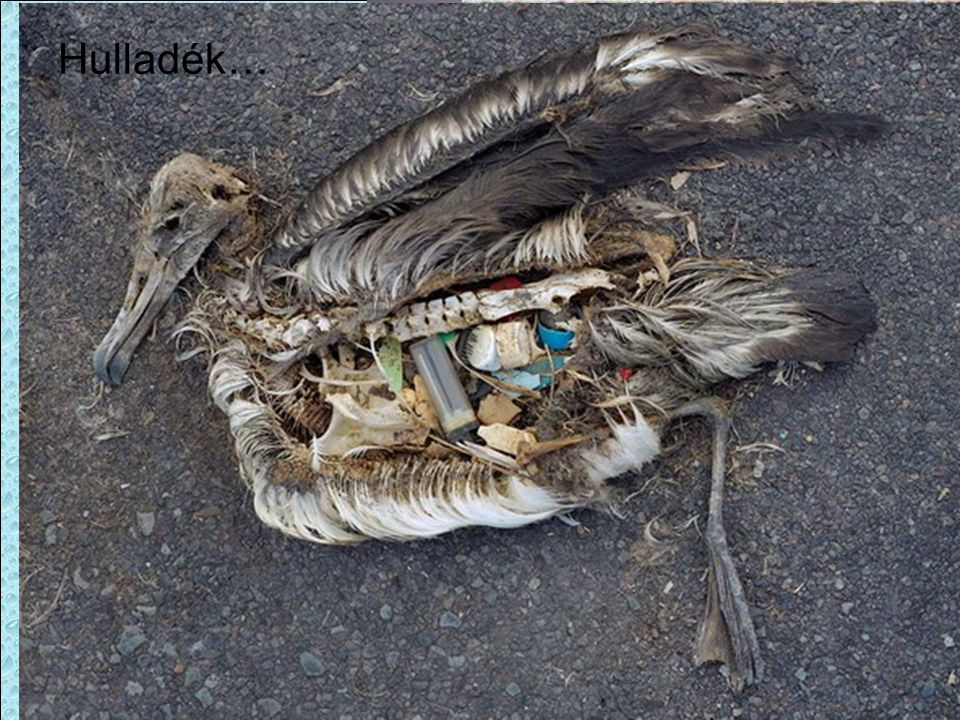 Laysan-albatrosz Falánk a lelkem és nem válogatós! MIND megette! Hulladék…