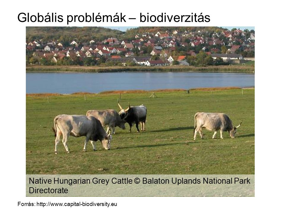 Globális problémák – biodiverzitás Forrás: http://www.capital-biodiversity.eu Native Hungarian Grey Cattle © Balaton Uplands National Park Directorate