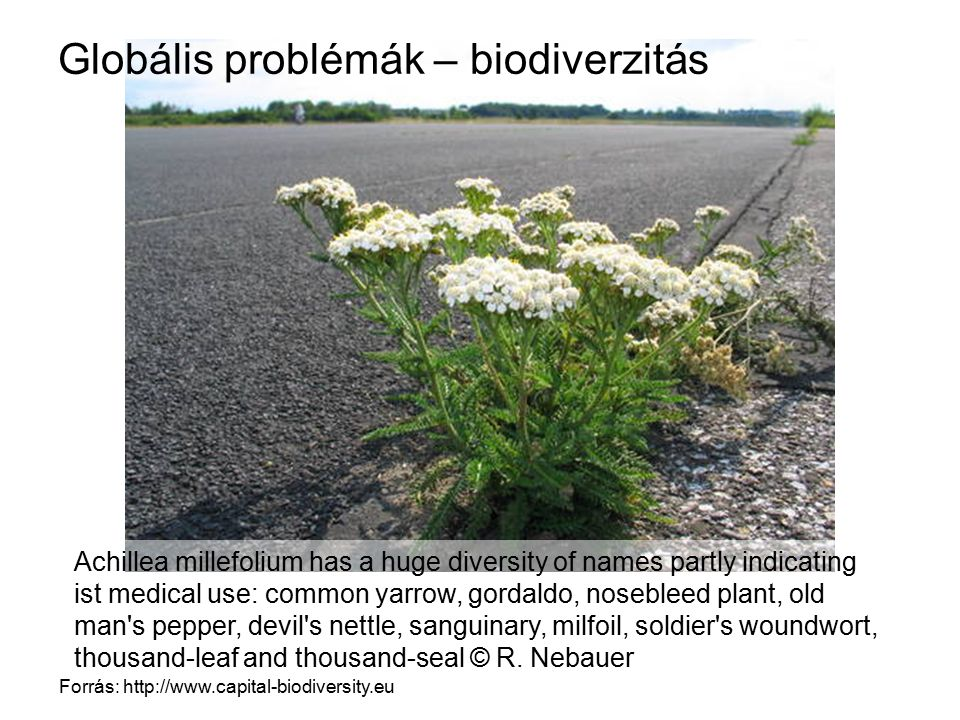 Globális problémák – biodiverzitás Forrás: http://www.capital-biodiversity.eu Achillea millefolium has a huge diversity of names partly indicating ist medical use: common yarrow, gordaldo, nosebleed plant, old man s pepper, devil s nettle, sanguinary, milfoil, soldier s woundwort, thousand-leaf and thousand-seal © R.