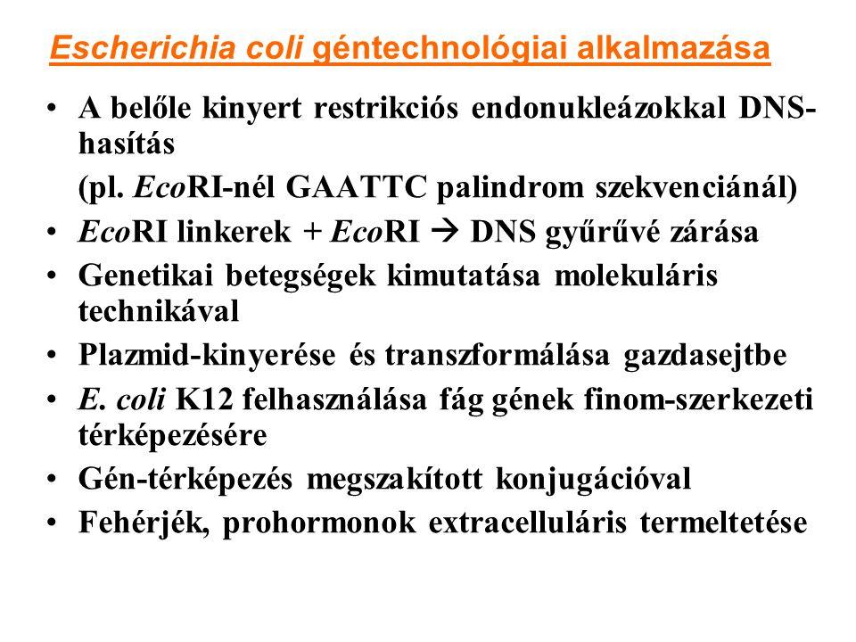 Escherichia coli géntechnológiai alkalmazása A belőle kinyert restrikciós endonukleázokkal DNS- hasítás (pl. EcoRI-nél GAATTC palindrom szekvenciánál)