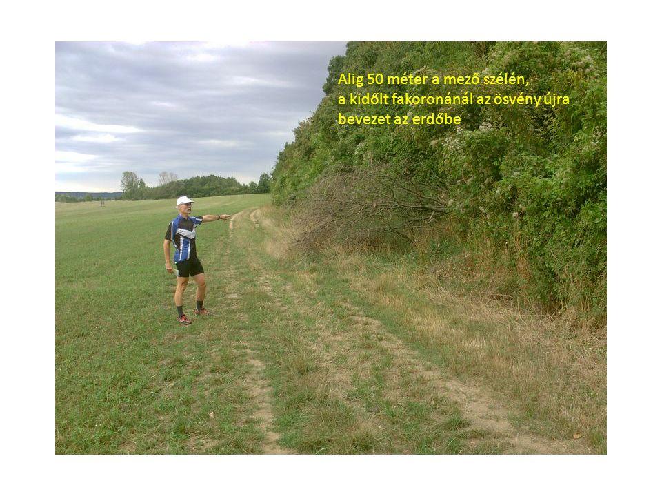Alig 50 méter a mező szélén, a kidőlt fakoronánál az ösvény újra bevezet az erdőbe