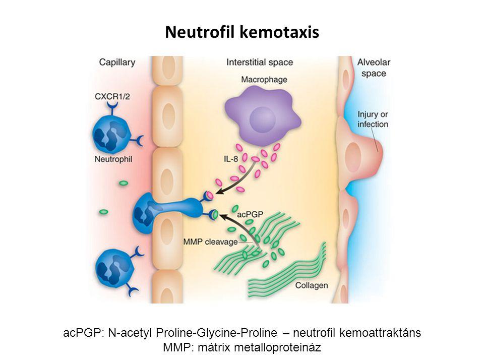 Neutrofil kemotaxis acPGP: N-acetyl Proline-Glycine-Proline – neutrofil kemoattraktáns MMP: mátrix metalloproteináz