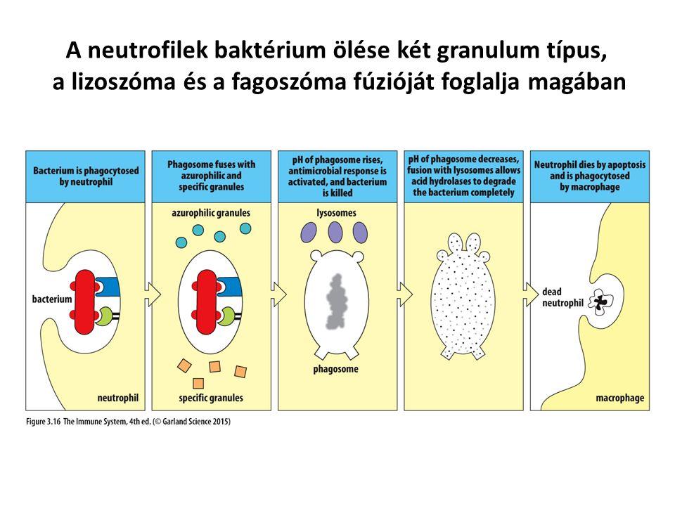 A neutrofilek baktérium ölése két granulum típus, a lizoszóma és a fagoszóma fúzióját foglalja magában