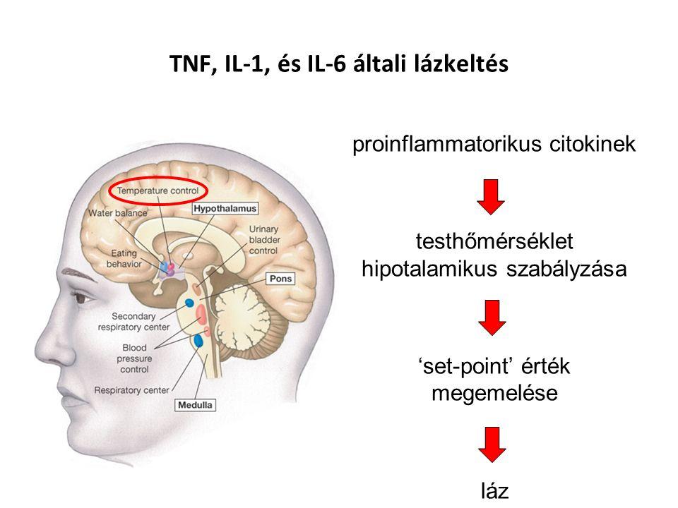 TNF, IL-1, és IL-6 általi lázkeltés proinflammatorikus citokinek testhőmérséklet hipotalamikus szabályzása 'set-point' érték megemelése láz