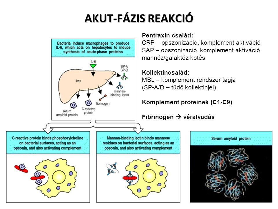 Pentraxin család: CRP – opszonizáció, komplement aktiváció SAP – opszonizáció, komplement aktiváció, mannóz/galaktóz kötés Kollektincsalád: MBL – komplement rendszer tagja (SP-A/D – tüdő kollektinjei) Komplement proteinek (C1-C9) Fibrinogen  véralvadás AKUT-FÁZIS REAKCIÓ