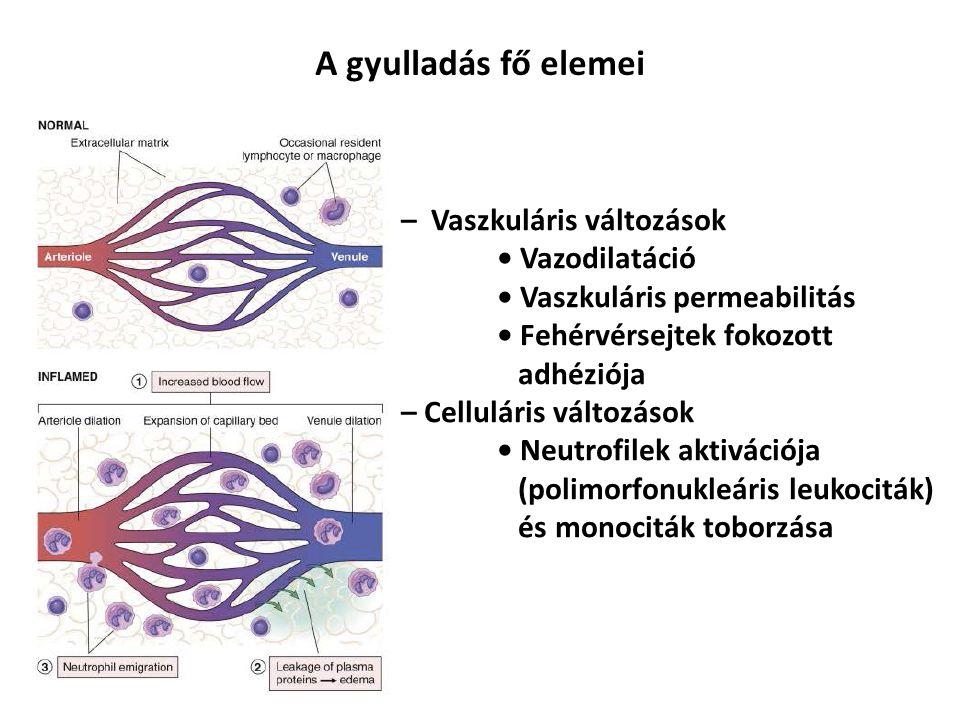 A gyulladás fő elemei – Vaszkuláris változások Vazodilatáció Vaszkuláris permeabilitás Fehérvérsejtek fokozott adhéziója – Celluláris változások Neutrofilek aktivációja (polimorfonukleáris leukociták) és monociták toborzása