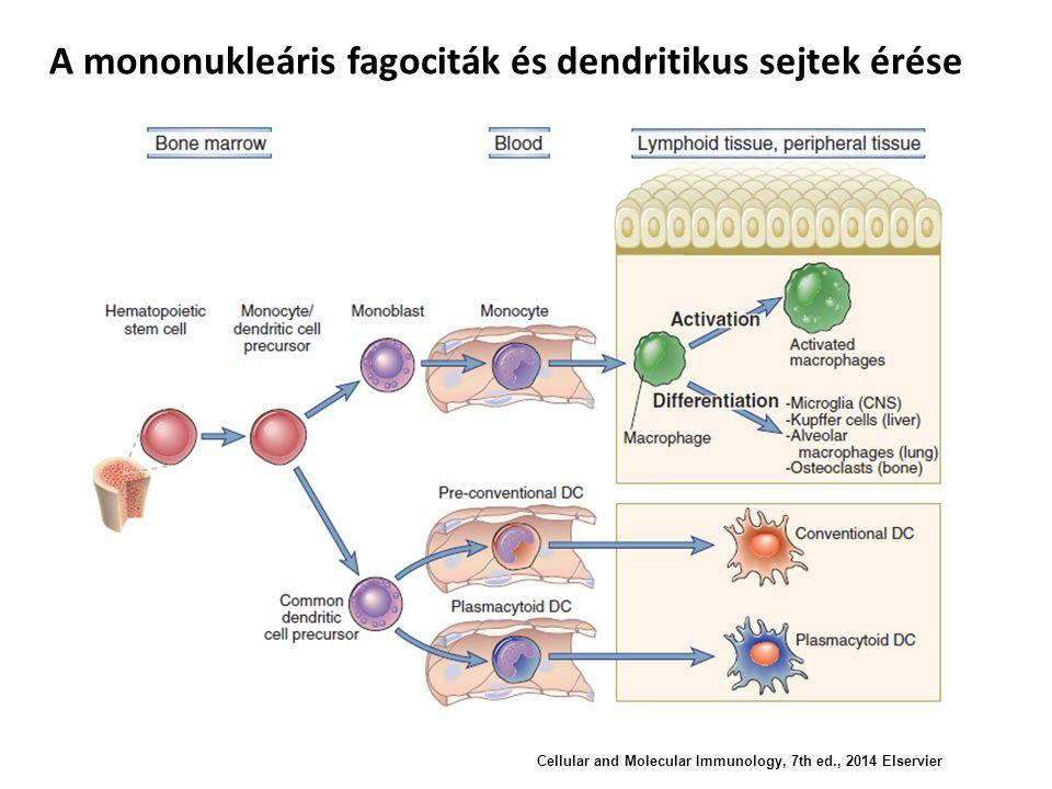 A mononukleáris fagociták és dendritikus sejtek érése Cellular and Molecular Immunology, 7th ed., 2014 Elservier