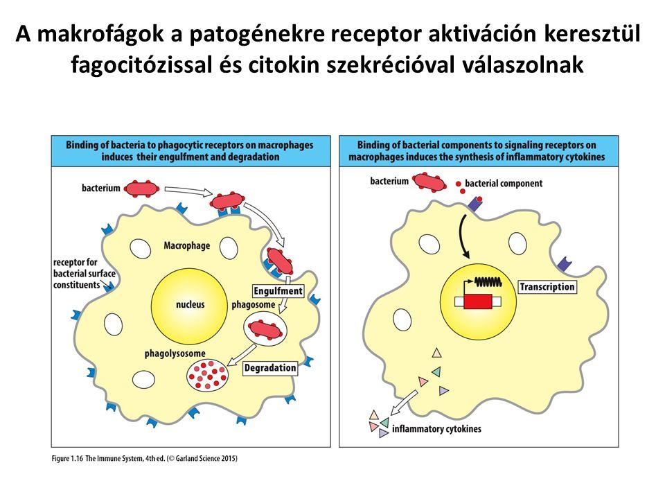 A makrofágok a patogénekre receptor aktiváción keresztül fagocitózissal és citokin szekrécióval válaszolnak