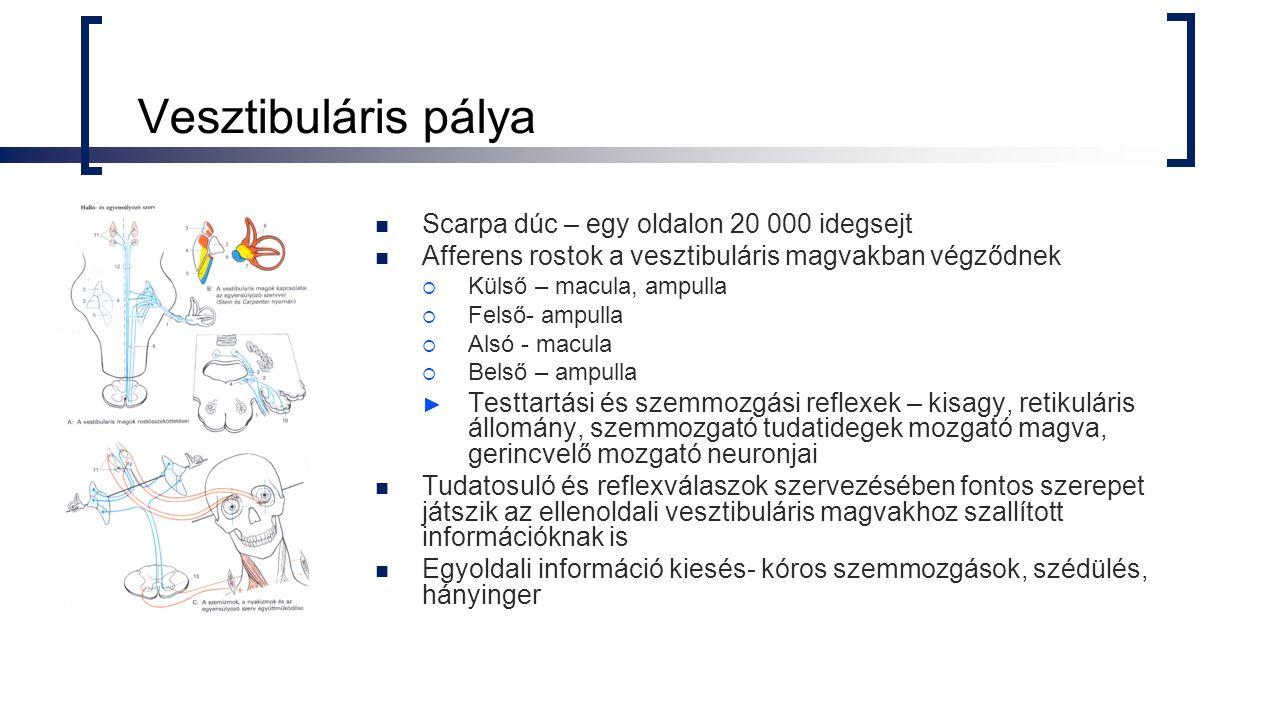 Vesztibuláris pálya Scarpa dúc – egy oldalon 20 000 idegsejt Afferens rostok a vesztibuláris magvakban végződnek  Külső – macula, ampulla  Felső- ampulla  Alsó - macula  Belső – ampulla ► Testtartási és szemmozgási reflexek – kisagy, retikuláris állomány, szemmozgató tudatidegek mozgató magva, gerincvelő mozgató neuronjai Tudatosuló és reflexválaszok szervezésében fontos szerepet játszik az ellenoldali vesztibuláris magvakhoz szallított információknak is Egyoldali információ kiesés- kóros szemmozgások, szédülés, hányinger