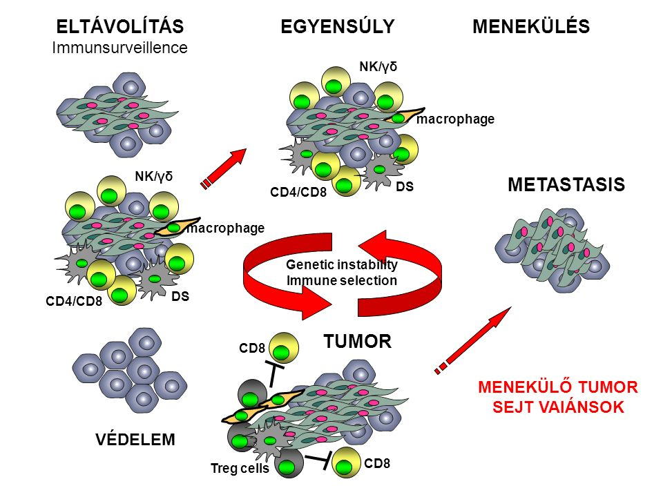 macrophage DS NK/γδ CD4/CD8 VÉDELEM ELTÁVOLÍTÁS Immunsurveillence EGYENSÚLYMENEKÜLÉS Genetic instability Immune selection Treg cells TUMOR CD8 macrophage DS NK/γδ CD4/CD8 METASTASIS MENEKÜLŐ TUMOR SEJT VAIÁNSOK