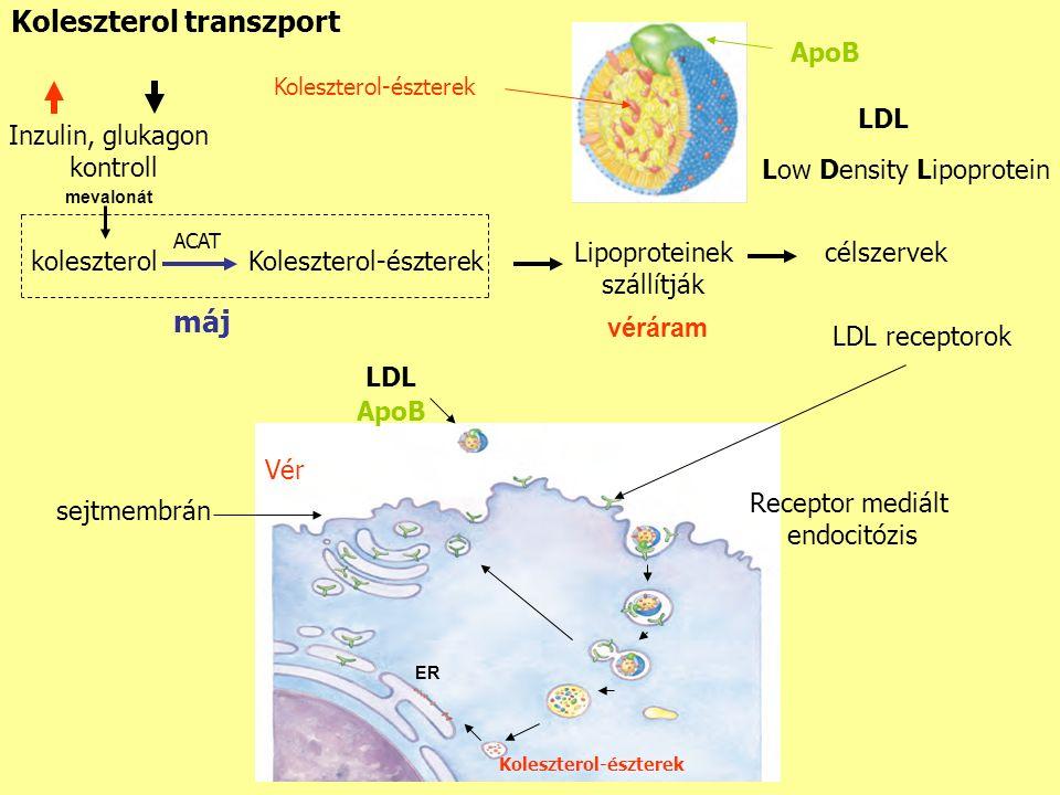 Koleszterol transzport koleszterolKoleszterol-észterek Lipoproteinek szállítják célszervek ACAT máj véráram LDL Koleszterol-észterek ApoB LDL receptorok ApoB LDL Koleszterol-észterek ER Receptor mediált endocitózis Inzulin, glukagon kontroll mevalonát Low Density Lipoprotein Vér sejtmembrán