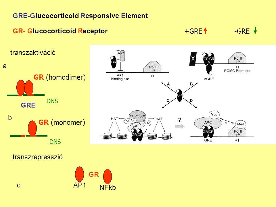 GRE-Glucocorticoid Responsive Element GR (homodimer) DNS GR- Glucocorticoid Receptor GRE -GRE+GRE transzaktiváció GR (monomer) DNS AP1 NFkb GR a b c transzrepresszió