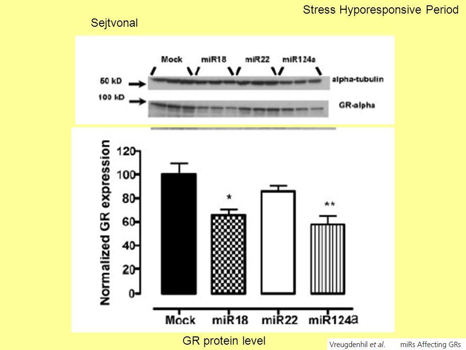 GR protein level Sejtvonal Stress Hyporesponsive Period