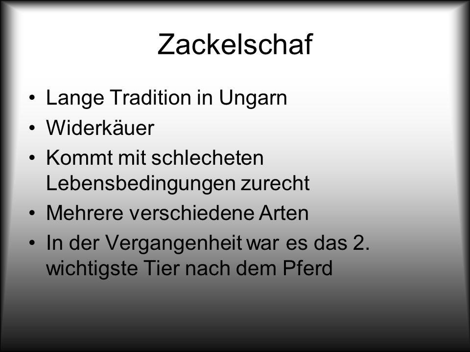 Zackelschaf Lange Tradition in Ungarn Widerkäuer Kommt mit schlecheten Lebensbedingungen zurecht Mehrere verschiedene Arten In der Vergangenheit war e