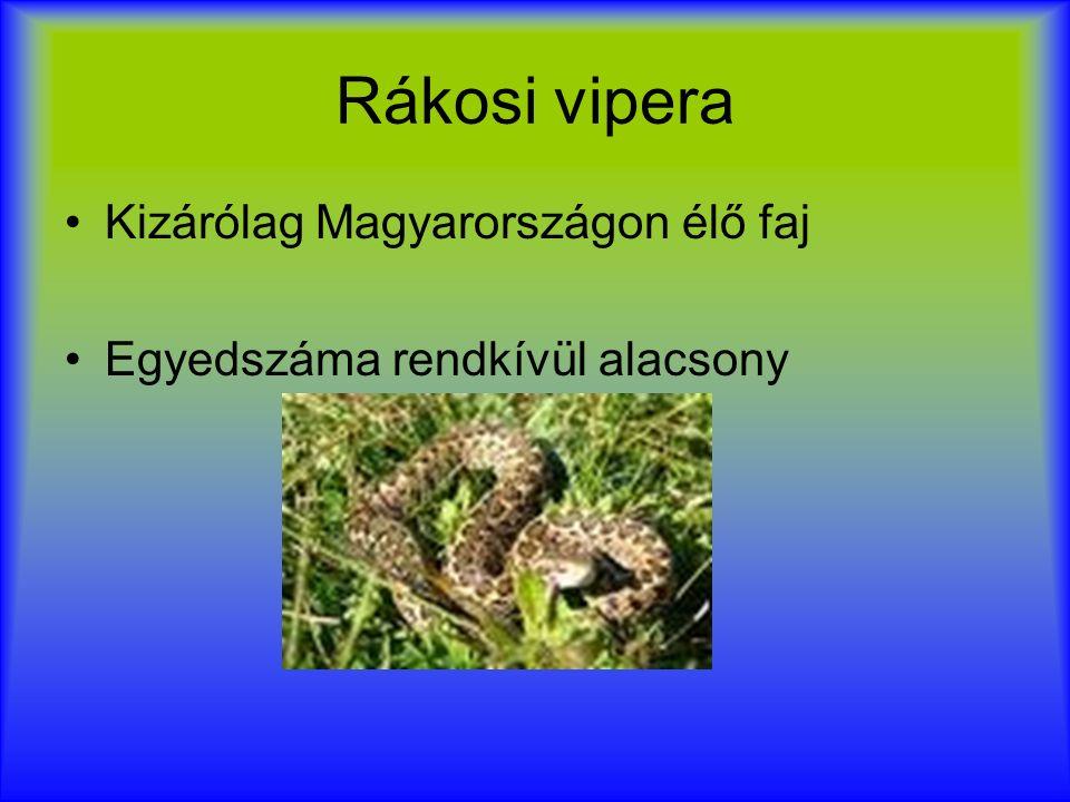 Rákosi vipera Kizárólag Magyarországon élő faj Egyedszáma rendkívül alacsony