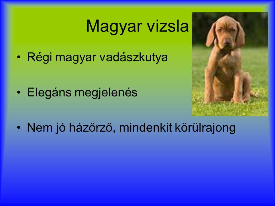 Ungarischer Jagdhund Traditioneller Jagdhund in Ungarn Elegantes Aussehen Gutmütiger Hund Kein guter Wachhund