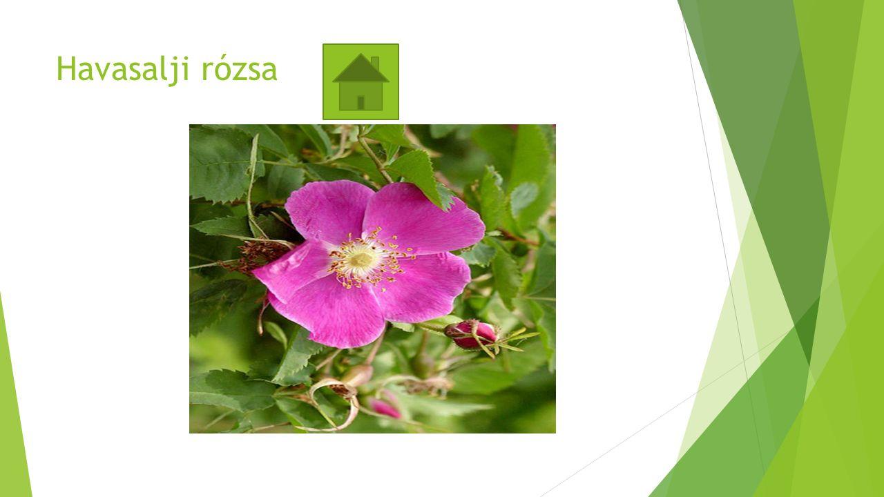 Havasalji rózsa