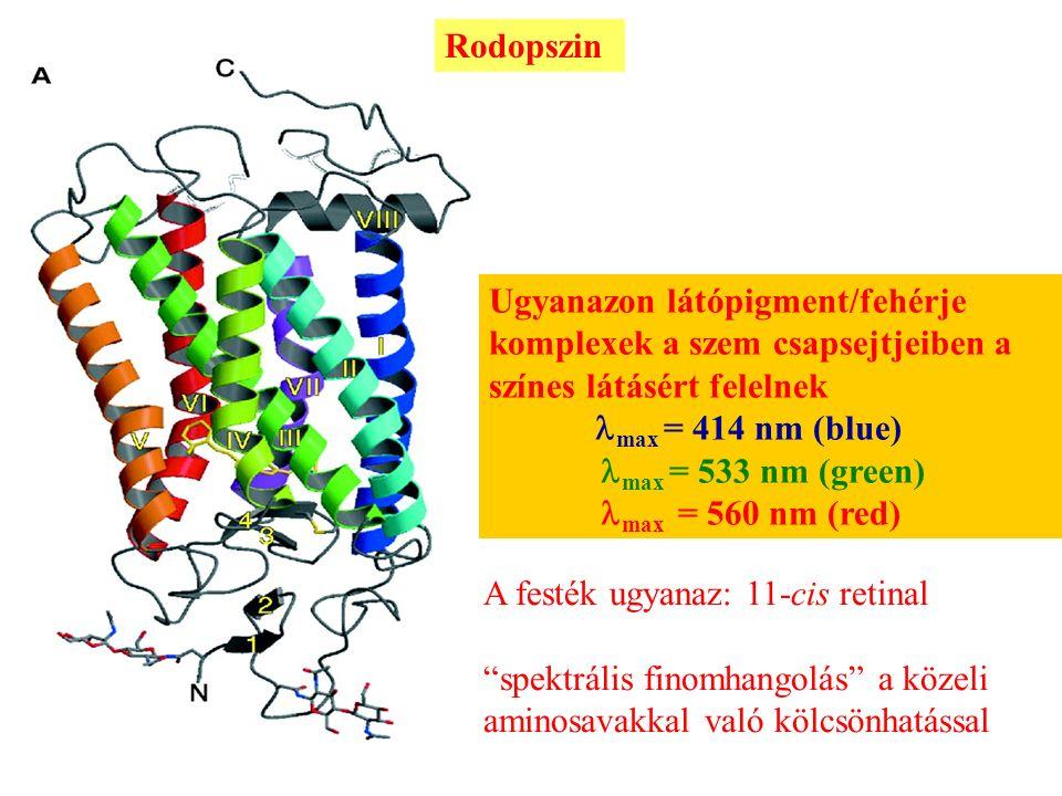 Rodopszin A szem pálcika sejtjeiben levő látópigmentek felelősek a szürkületi látásért max = 500 nm Ugyanazon látópigment/fehérje komplexek a szem csapsejtjeiben a színes látásért felelnek max = 414 nm (blue) max = 533 nm (green) max = 560 nm (red) A festék ugyanaz: 11-cis retinal spektrális finomhangolás a közeli aminosavakkal való kölcsönhatással Biochem (2001) 40, 7219-7227