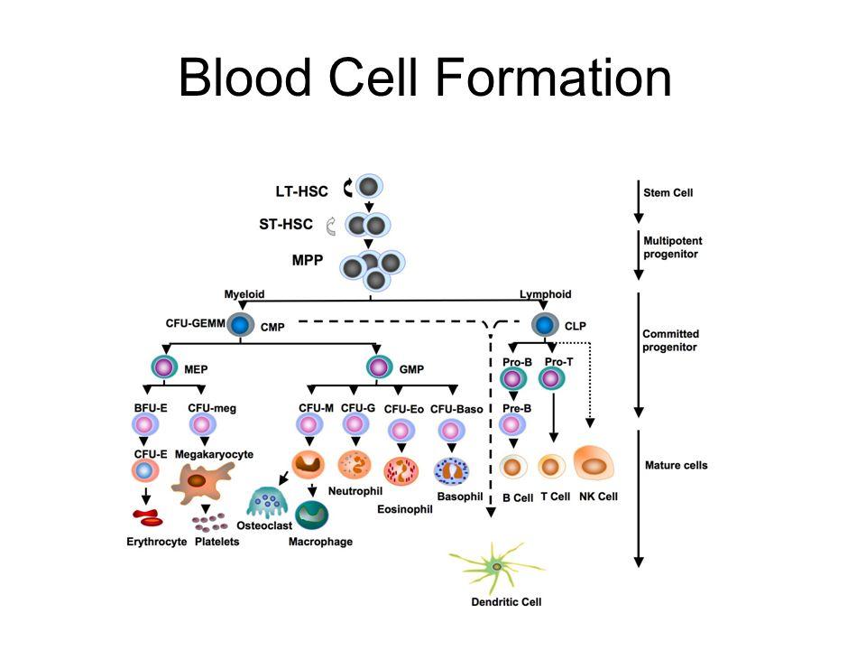 """CMP MEPMEP BMCPBMCP hízósejthízósejt basophil thrombocyta erythrocyta ST-HSC Őssejt >16 hétig LT-HSC 6-8 hétig Haematopoiesis GMP monocyta/ macrophag eosinophil neutrophil TNKP BCPBCP T-sejt B-sejt NK-sejt CLPCLP dendriticus sejt önmegújít vérképzést biztosít MPP 2-6 hétig aktív LT-HSC nyugvó LT-HSC """"myeloid LT-HSC """"lymphoid LT-HSC"""