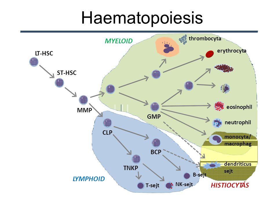 CMP MEPMEP BMCPBMCP hízósejthízósejt basophil thrombocyta erythrocyta ST-HSC LT-HSC MYELOID Haematopoiesis GMP monocyta/ macrophag eosinophil neutrophil TNKP BCPBCP T-sejt B-sejt NK-sejt CLPCLP MMP dendriticus sejt LYMPHOID HISTIOCYTÁS
