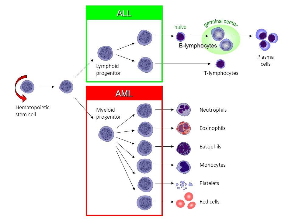 Hematopoietic stem cell Neutrophils Eosinophils Basophils Monocytes Platelets Red cells Myeloid progenitor Lymphoid progenitor B-lymphocytes T-lymphoc