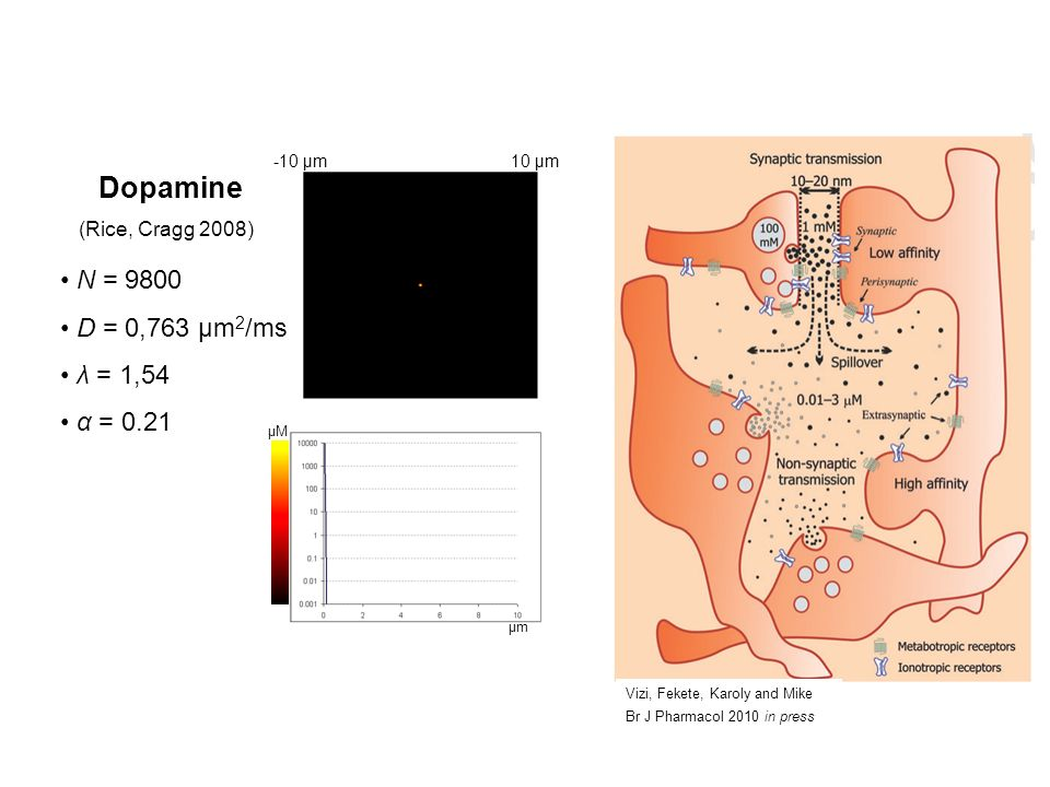 Dopamine and Glutamate N = 9800 D = 0,763 μm 2 /ms λ = 1,54 α = 0.21 Dopamine (Rice, Cragg 2008) Glutamate (Rusakov, Kullman 1998) 10 μm-10 μm μmμm μMμM μmμm μMμM N = 5000 D = 0,75 μm 2 /ms λ = 1,34 α = 0.12 Despite the difference in parameters, there is only a small difference between spatiotemporal pattern of diffuison of dopamine and glutamate.