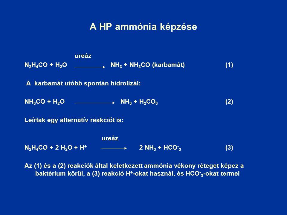 A HP ammónia képzése ureáz N 2 H 4 CO + H 2 O NH 3 + NH 3 CO (karbamát)(1) A karbamát utóbb spontán hidrolizál: NH 3 CO + H 2 O NH 3 + H 2 CO 3 (2) Leírtak egy alternatív reakciót is: ureáz N 2 H 4 CO + 2 H 2 O + H + 2 NH 3 + HCO - 3 (3) Az (1) és a (2) reakciók által keletkezett ammónia vékony réteget képez a baktérium körül, a (3) reakció H + -okat használ, és HCO - 3 -okat termel