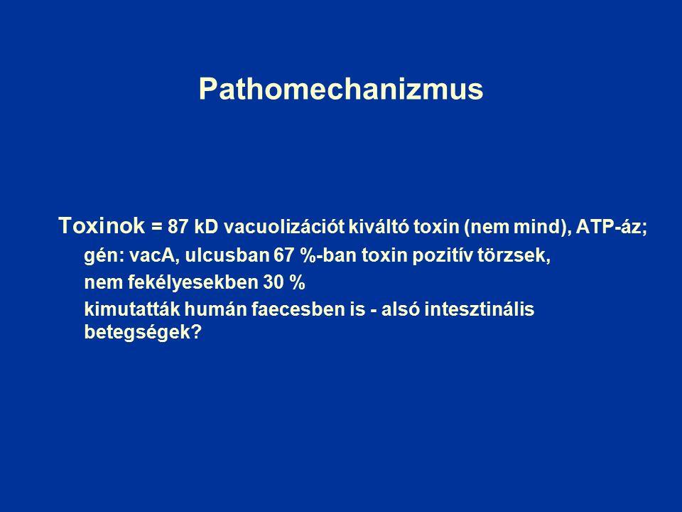 Pathomechanizmus Toxinok = 87 kD vacuolizációt kiváltó toxin (nem mind), ATP-áz; gén: vacA, ulcusban 67 %-ban toxin pozitív törzsek, nem fekélyesekben 30 % kimutatták humán faecesben is - alsó intesztinális betegségek