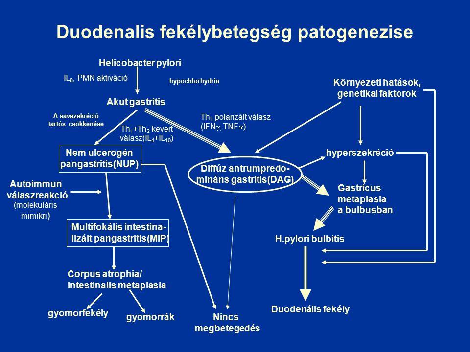 Duodenalis fekélybetegség patogenezise Helicobacter pylori Th 1 polarizált válasz (IFN , TNF  ) Nem ulcerogén pangastritis(NUP) Corpus atrophia/ intestinalis metaplasia Diffúz antrumpredo- mináns gastritis(DAG) gyomorfekély gyomorrákNincs megbetegedés Környezeti hatások, genetikai faktorok hyperszekréció Gastricus metaplasia a bulbusban H.pylori bulbitis Duodenális fekély A savszekréció tartós csökkenése hypochlorhydria Autoimmun válaszreakció (molekuláris mimikri ) Multifokális intestina- lizált pangastritis(MIP) Akut gastritis Th 1 +Th 2 kevert válasz(IL 4 +IL 10 ) IL 8, PMN aktiváció