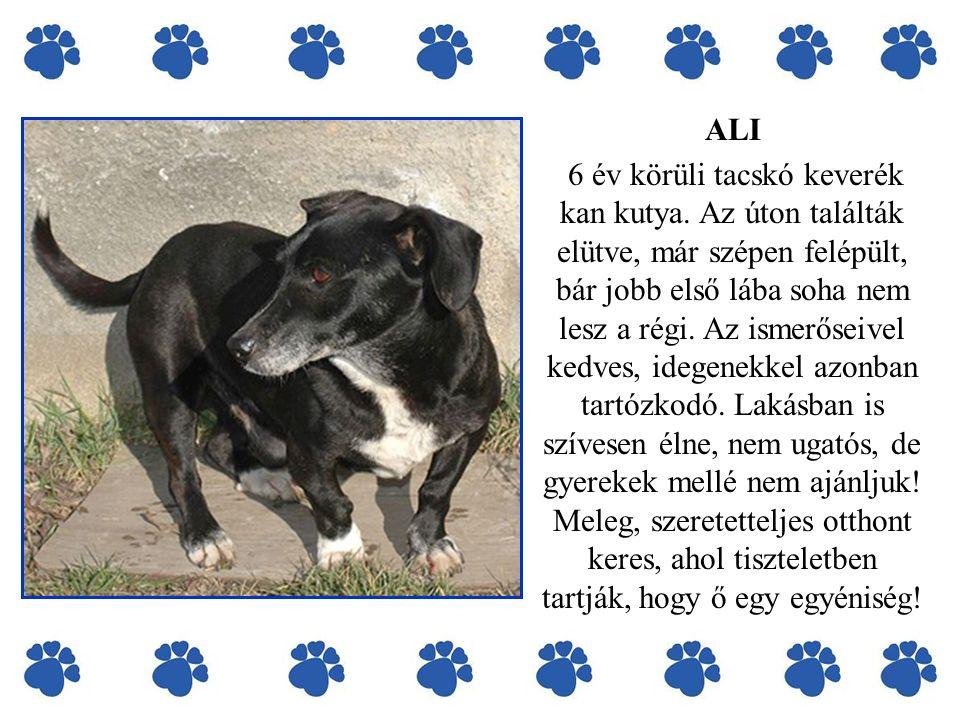 ALI 6 év körüli tacskó keverék kan kutya. Az úton találták elütve, már szépen felépült, bár jobb első lába soha nem lesz a régi. Az ismerőseivel kedve