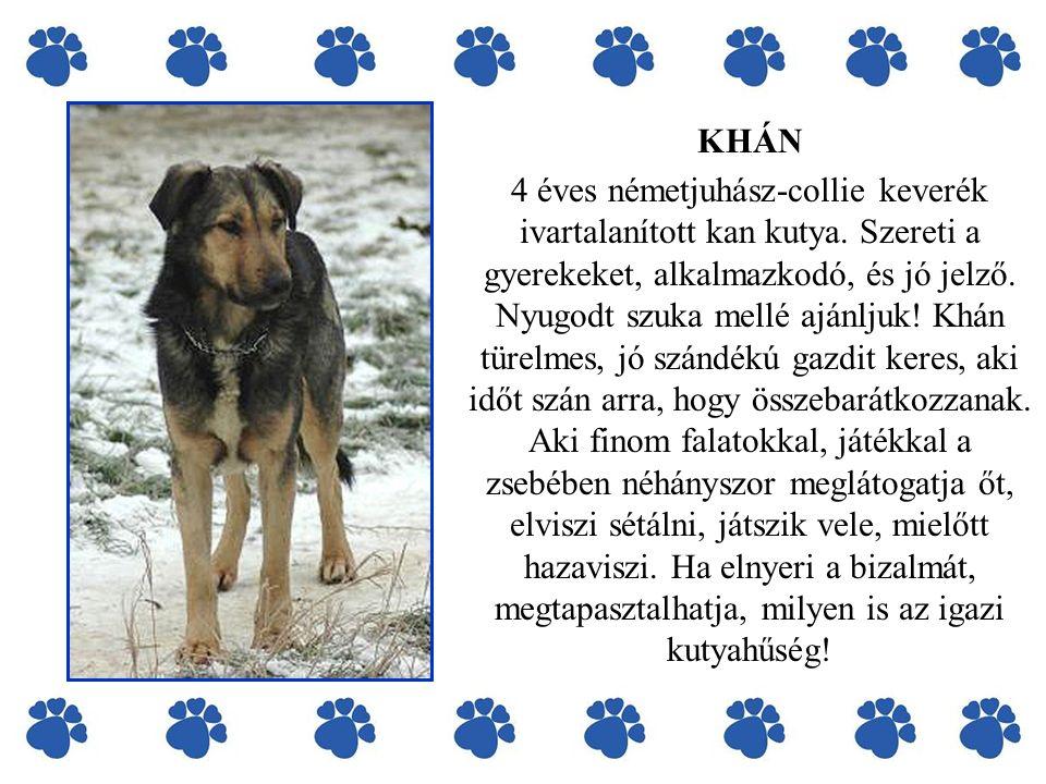 KHÁN 4 éves németjuhász-collie keverék ivartalanított kan kutya. Szereti a gyerekeket, alkalmazkodó, és jó jelző. Nyugodt szuka mellé ajánljuk! Khán t