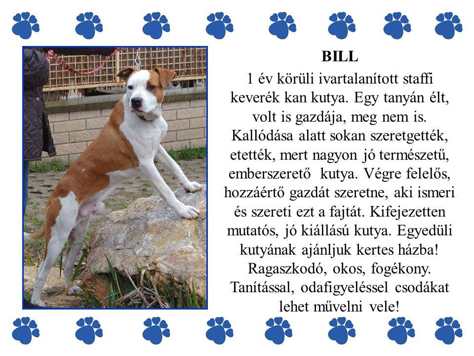 BILL 1 év körüli ivartalanított staffi keverék kan kutya. Egy tanyán élt, volt is gazdája, meg nem is. Kallódása alatt sokan szeretgették, etették, me