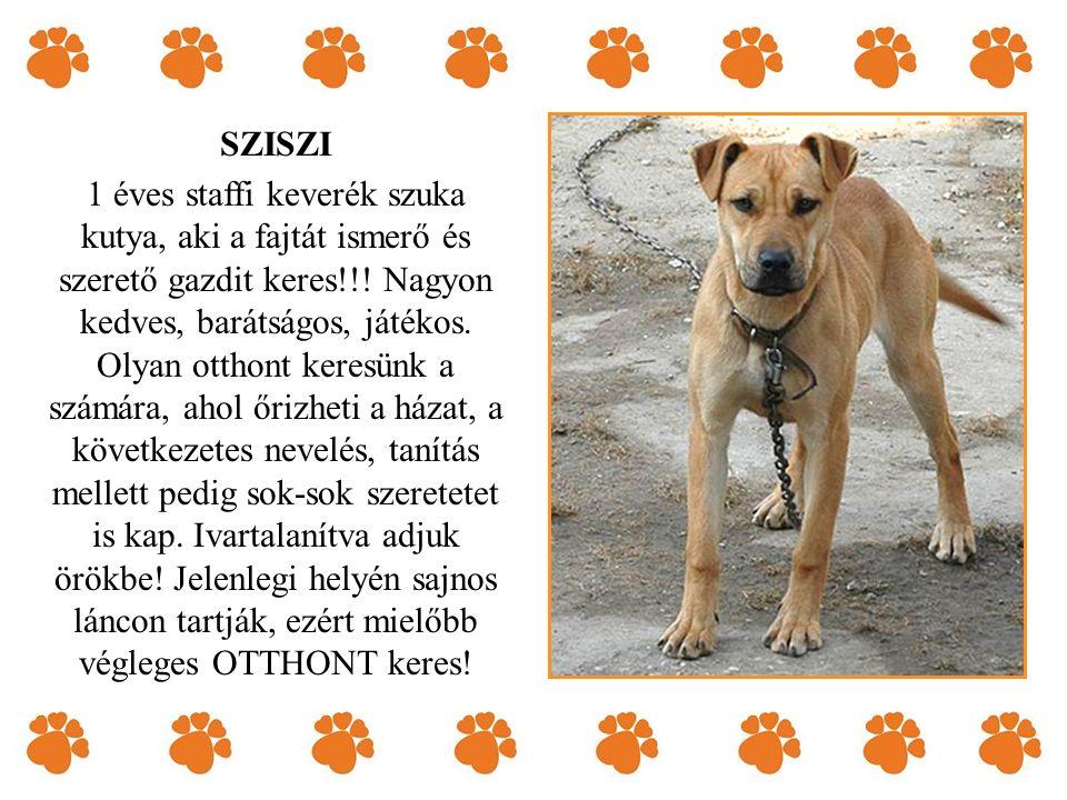 SZISZI 1 éves staffi keverék szuka kutya, aki a fajtát ismerő és szerető gazdit keres!!.