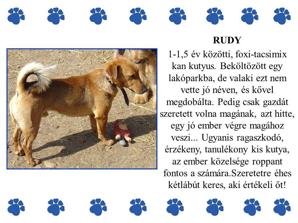 RUDY 1-1,5 év közötti, foxi-tacsimix kan kutyus. Beköltözött egy lakóparkba, de valaki ezt nem vette jó néven, és kővel megdobálta. Pedig csak gazdát