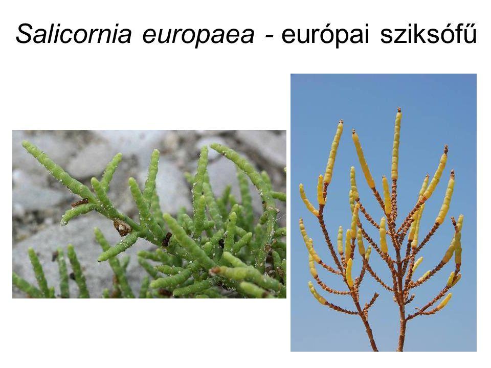 Salicornia europaea - európai sziksófű