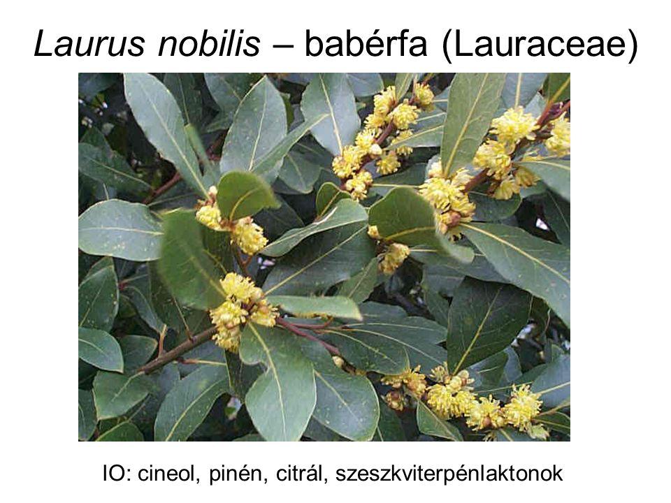 Laurus nobilis – babérfa (Lauraceae) IO: cineol, pinén, citrál, szeszkviterpénlaktonok