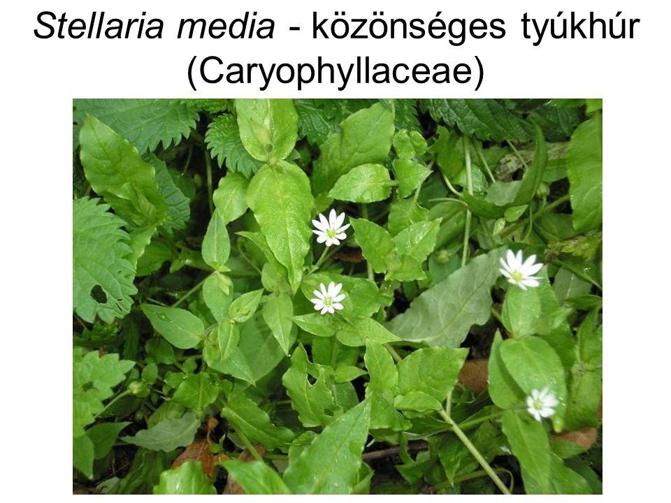 Stellaria media - közönséges tyúkhúr (Caryophyllaceae)