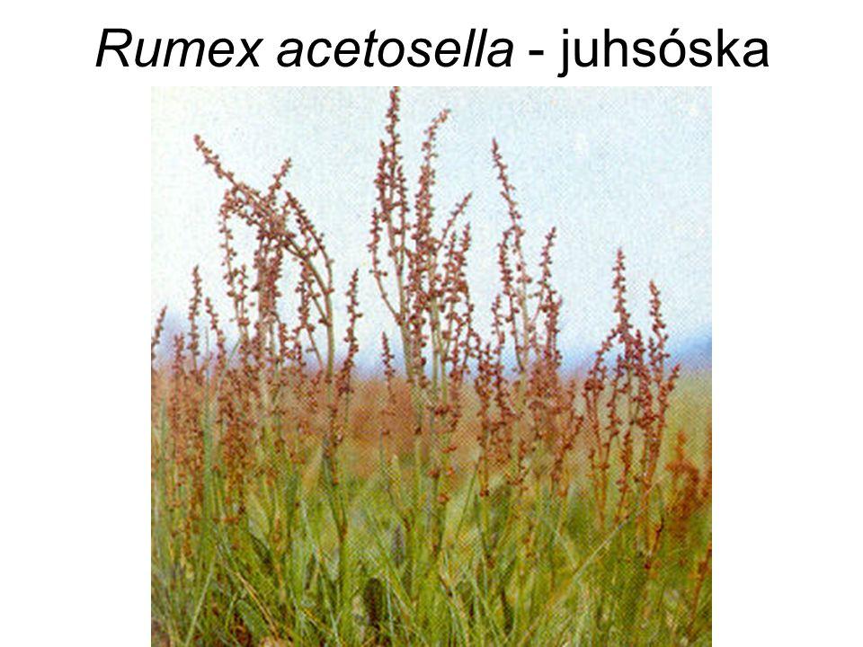 Rumex acetosella - juhsóska