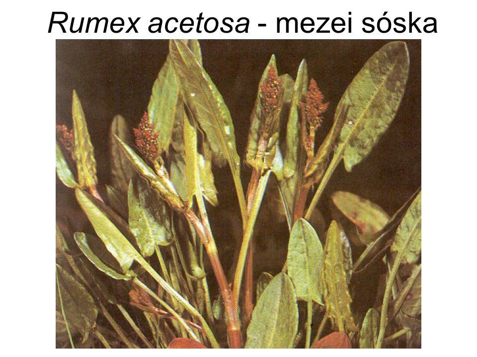 Rumex acetosa - mezei sóska